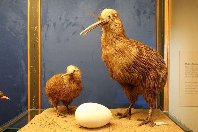 apteryx_australis