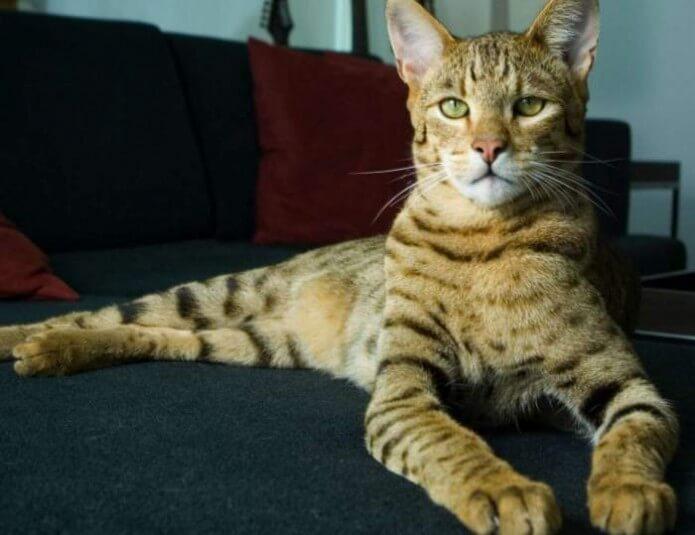 Ashera GT Katze