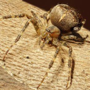 Die 10 größten Spinnen der Welt