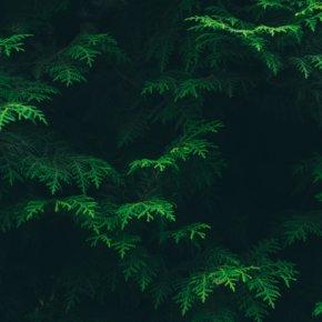 Immergrüne Hecke: Schmuckstück aus der Natur